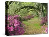 Oak Trees Above Azaleas in Bloom  Magnolia Plantation  Near Charleston  South Carolina  USA