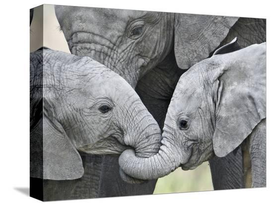 african-elephant-calves-loxodonta-africana-holding-trunks-tanzania
