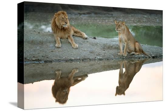 african-lion-and-lioness-panthera-leo-ndutu-ngorongoro-conservation-area-tanzania