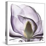 Lilac Magnolia
