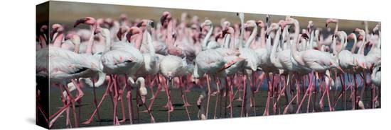 alex-saberi-greater-flamingos-grouping-together-near-walvis-bay-namibia
