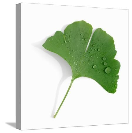 alexander-feig-a-ginkgo-leaf-with-drops-of-water