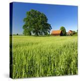Germany  Mecklenburg-West Pomerania  Grain Field  Solitairy Oak  Hut
