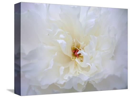 anna-miller-peony-abstract