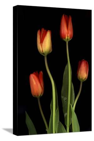 anna-miller-tulips-on-black-background