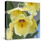 Yellow Orchid Blooms