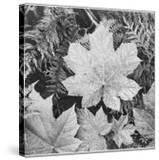 """Of Leaves From Directly Above """"In Glacier National Park"""" Montana 1933-1942"""