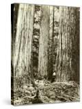 Cedar on Left  Douglas Fir on Right  Undated