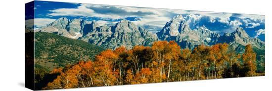 aspen-trees-in-a-forest-teton-range-grand-teton-national-park-wyoming-usa
