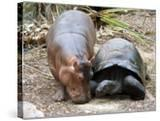 Baby Hippo Walks Along with its 'Mother'  a Giant Male Aldabran Tortoise  at Mombasa Haller Park