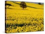 Field of Oil-Rape Seed  Spring  Harvington  United Kingdom