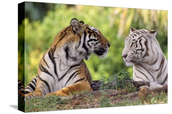 bengal-indian-tiger-normal-and-white-looking-at-each-other