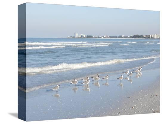 bernard-friel-laughing-gulls-along-crescent-beach-sarasota-florida-usa