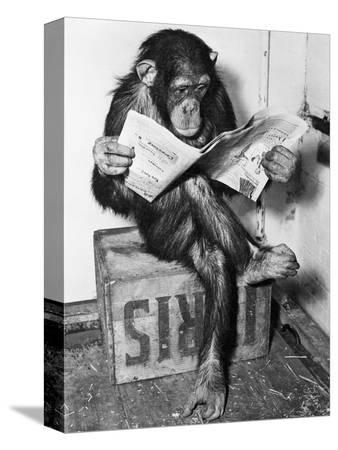 bettmann-chimpanzee-reading-newspaper