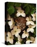 Bird nest kousa dogwood