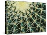 Spine Pattern Detail of Golden Barrel  Cactaceae of Central Mexico