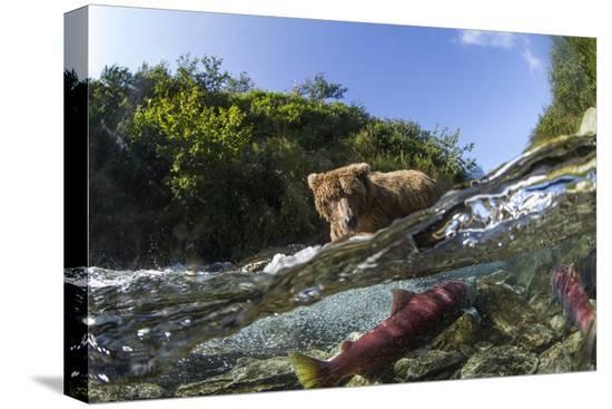 brown-bear-and-underwater-salmon-katmai-national-park-alaska