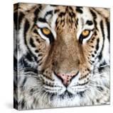 Bengal Tiger Eyes