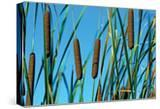 Cattails II