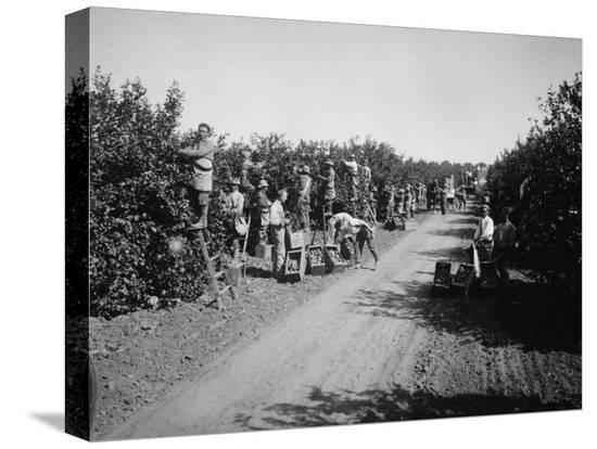 california-citrus-heritage-recording-project-workers-harvesting-oranges-riverside-county-1930
