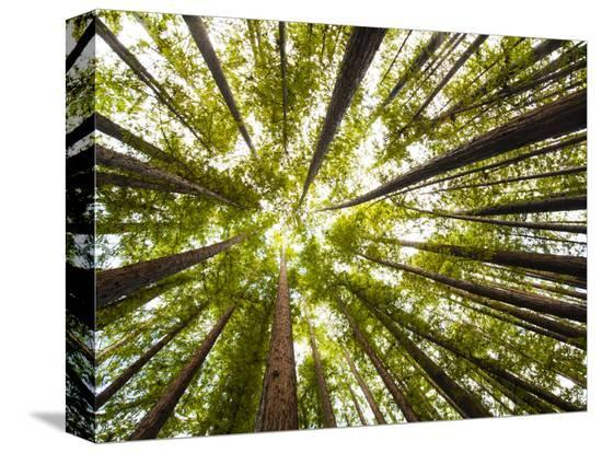 carlo-acenas-redwood-trees-in-mt-tamalpais-state-park-adjacent-to-muir-woods-national-monument-in-california