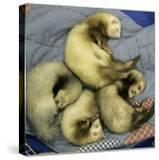 A Pack of Ferrets Clockwise from Top  Chewbacca  Hobart  Dixie B  Wolfgang Amadeaus Motzart