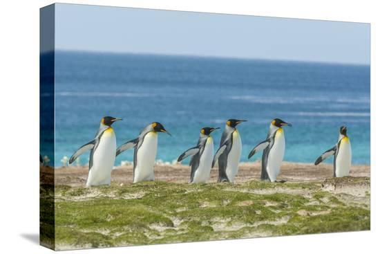 cathy-gordon-illg-falkland-islands-east-falkland-king-penguins-walking
