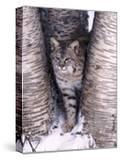 Bobcat in the snow in Montana