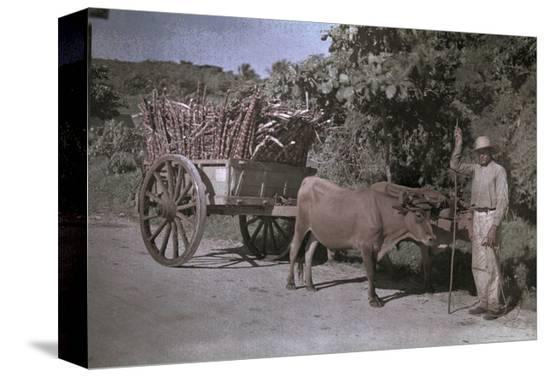 charles-martin-puerto-rican-man-poses-with-his-bull-cart-filled-with-sugar-cane