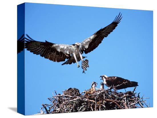 charles-sleicher-male-osprey-landing-at-nest-with-fish-sanibel-island-florida-usa