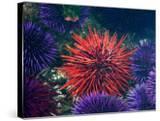 Tide Pool With Sea Urchins  Olympic Peninsula  Washington  USA