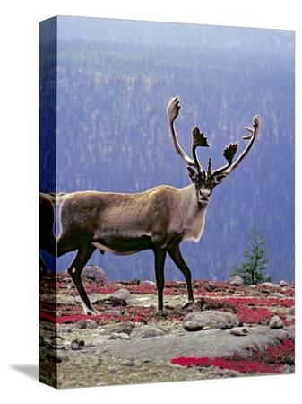 charles-sleicher-woodland-caribou-on-a-ridge-during-fall-migration-quebec-canada