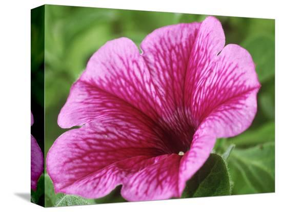 chris-burrows-petunia-strawberry-frost-conchita-series