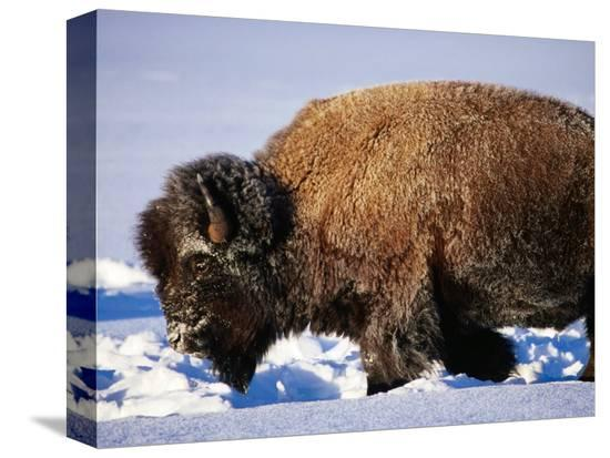 christer-fredriksson-bison-in-snow-yellowstone-national-park-u-s-a