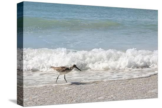christin-lola-sandpiper-shore-bird-walking-in-ocean-on-beach