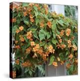 Begonia Sutherlandii Trailing Plant in Hanging Basket Conservatory