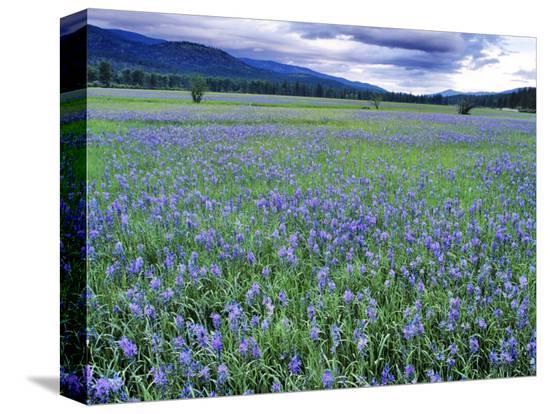 chuck-haney-field-of-blue-camas-wildflowers-near-huson-montana-usa