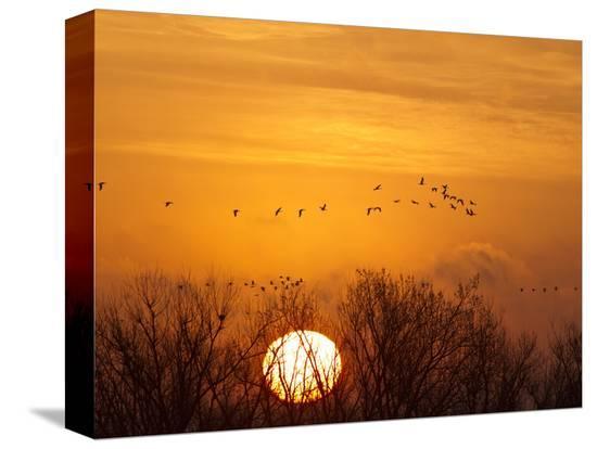 chuck-haney-sandhill-cranes-silhouetted-aginst-rising-sun-leaving-platte-river-near-kearney-nebraska-usa