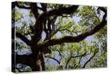 300-Year-Old Oak Tree  Vacherie  New Orleans  Louisiana  USA