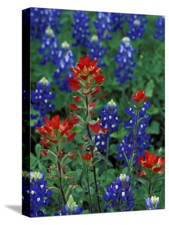 claudia-adams-texas-bluebonnet-and-indian-paintbrush-texas-usa