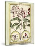 Clove (Caryophyllus Aromaticus)  1789