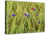 Corn Flowers and Field Poppy