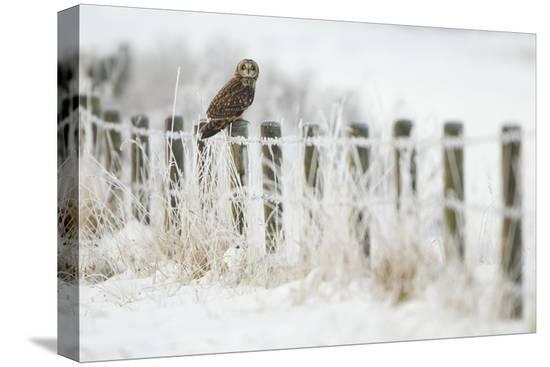 danny-green-short-eared-owl-asio-flammeus-perched-on-a-fence-post-worlaby-carr-lincolnshire-england-uk