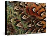 Close-Up of Pheasant Feathers  Medicine Rocks  Montana