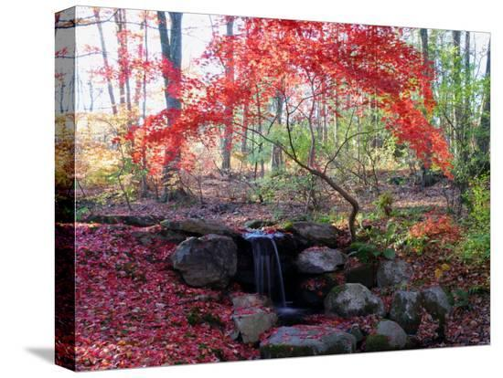 darlyne-a-murawski-japanese-maple-tree-with-red-leaves-in-the-fall-next-to-a-waterfall-new-york
