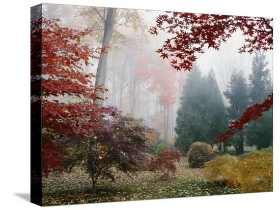 darlyne-a-murawski-several-japanese-maple-trees-in-the-fall