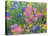 Blue Bonnets  Arnica  and Indian Paintbrush  Near Cuero  Texas  USA