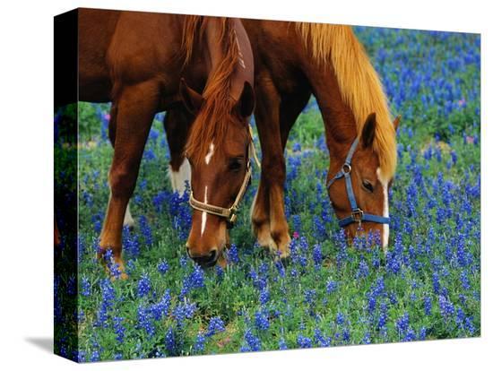 darrell-gulin-horses-grazing-among-bluebonnets