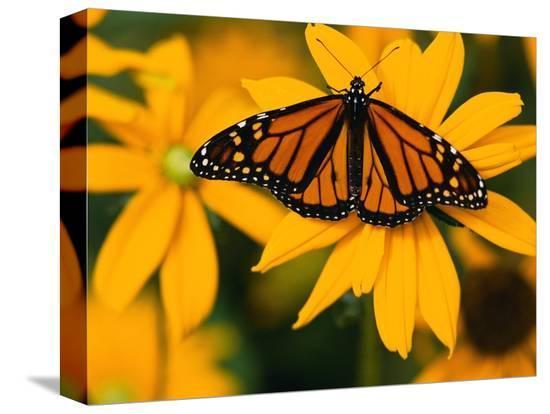darrell-gulin-monarch-butterfly-on-yellow-flower
