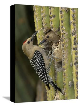 dave-watts-gila-woodpecker-melanerpes-uropygialis-pair-at-a-nest-hole-in-a-saguaro-cactus-arizona-usa